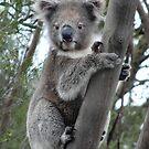A young koala near Seal Bay - Kangaroo Island, South Australia by Dan Monceaux