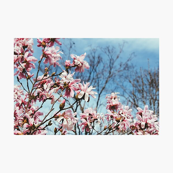 Magnolias Against the Blue Sky Photographic Print