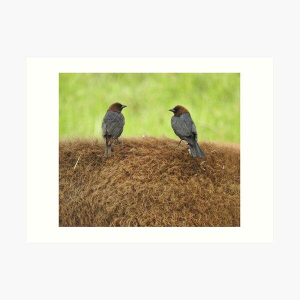 Brown-headed cowbirds Art Print