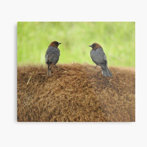 Brown-headed cowbirds Metal Print
