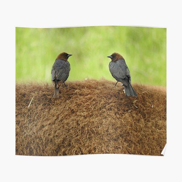 Brown-headed cowbirds Poster