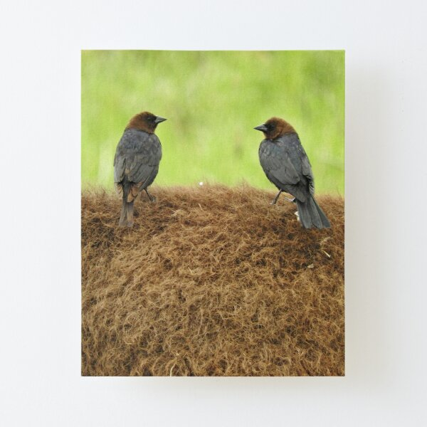 Brown-headed cowbirds Canvas Mounted Print