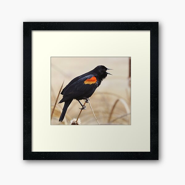 Red Winged Blackbird Framed Art Print