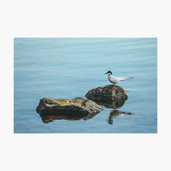 An Arctic Tern At Rest Photographic Print