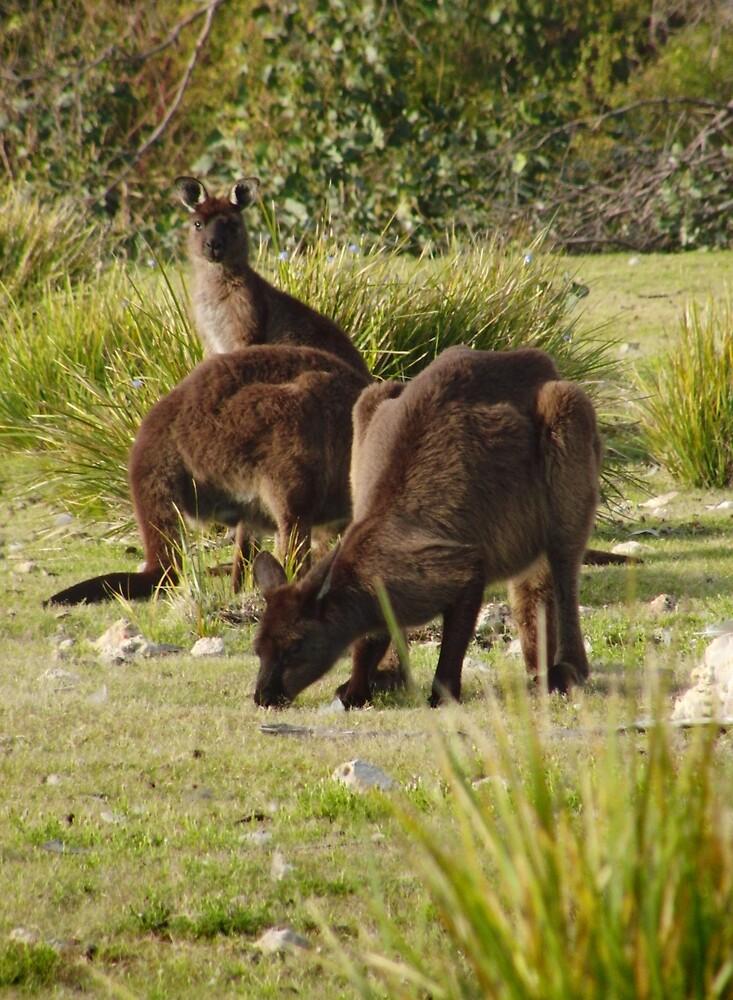 Grazing Kangaroos at Flinders Chase National Park, Kangaroo Island by Dan & Emma Monceaux