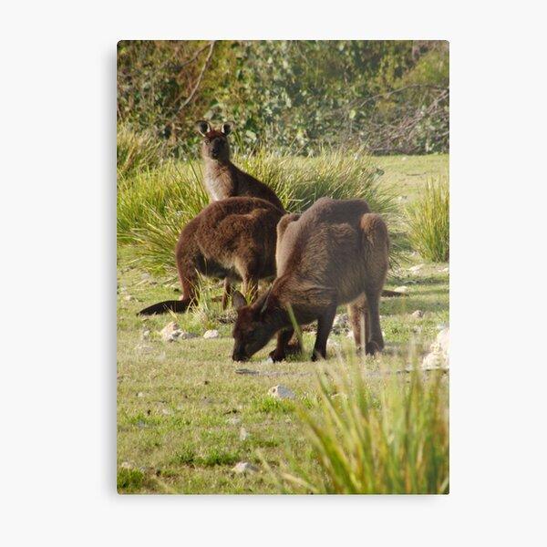 Grazing Kangaroos at Flinders Chase National Park, Kangaroo Island Metal Print