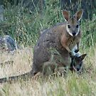 Tammar Wallaby & Joey at Baudin Conservation Park - Kangaroo Island, South Australia by Dan Monceaux