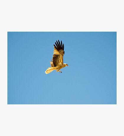 Kite - Adelaide river Photographic Print