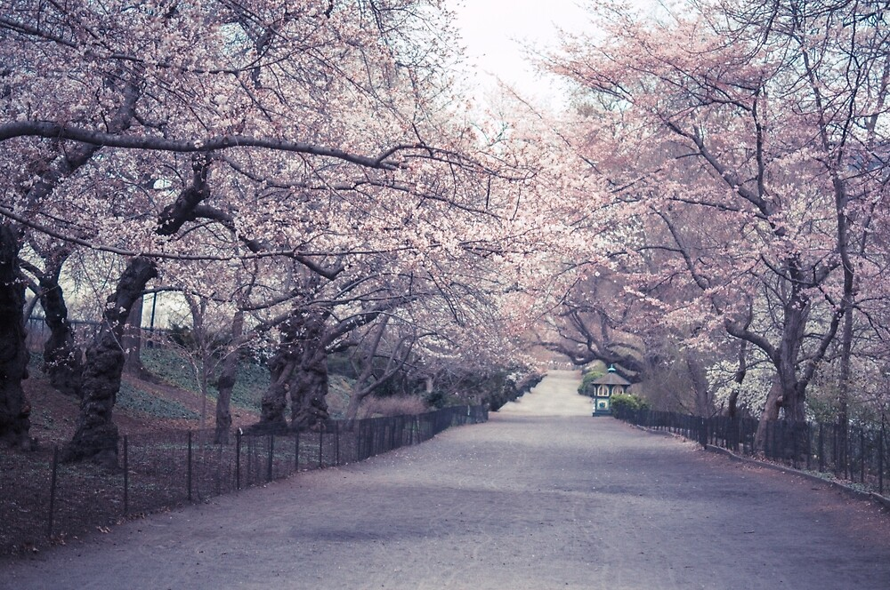 Cherry Blossoms by Vivienne Gucwa