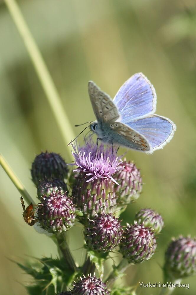 Common Blue by YorkshireMonkey