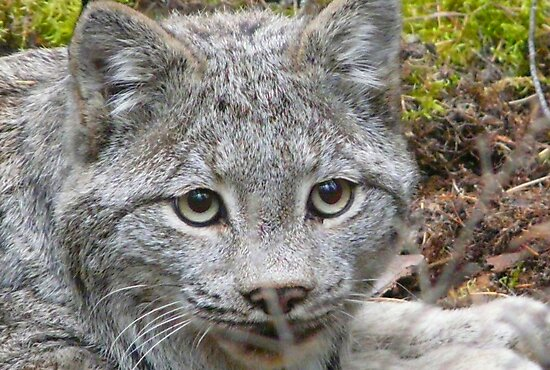 Canadian Lynx,,in the wild by MaeBelle