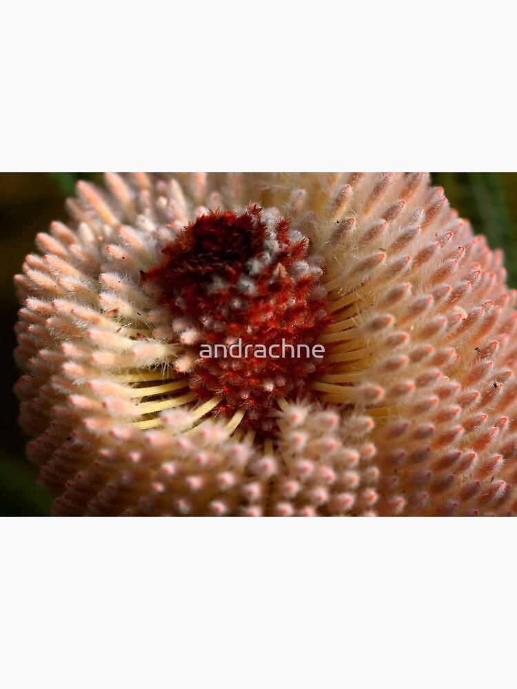 Banksia hookeriana  by andrachne