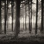 Pine Forest at Dusk by Phill Jenkins