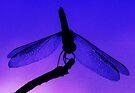 Dragonfly at Dusk - Blank Greeting Card by Marcia Rubin