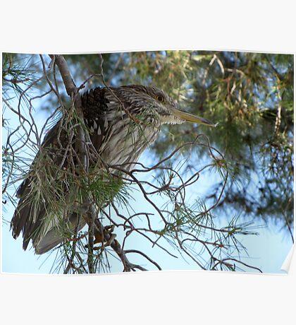 Black-Crowned Night Heron ~ Juvenile Poster