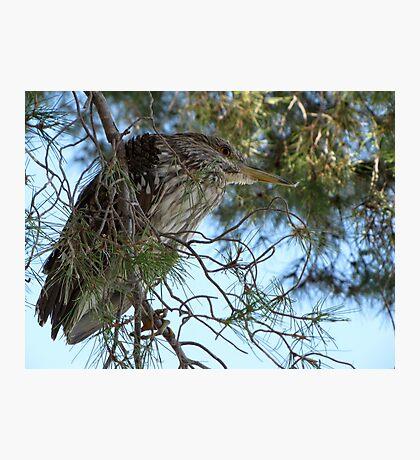 Black-Crowned Night Heron ~ Juvenile Photographic Print