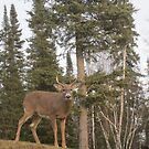 Young Deer watching over the yard by Brenden Bencharski
