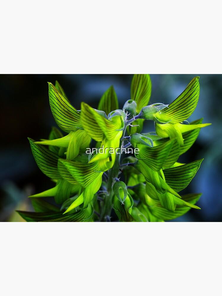 Crotalaria cunninghamii  by andrachne