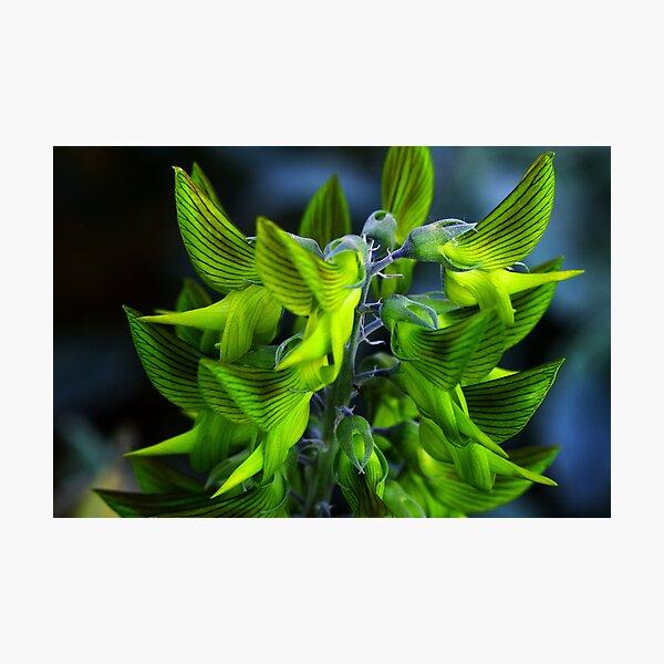 Crotalaria cunninghamii  Photographic Print