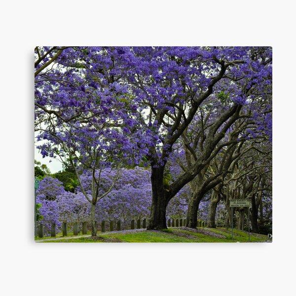 jacarandas in bloom Canvas Print