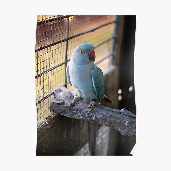 Blue Indian Ringneck-bird 2 Poster