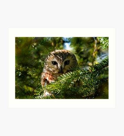 Northern Saw Whet Owl - Amherst Island, Ontario, Canada Art Print