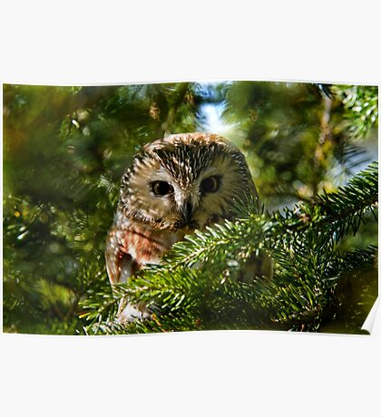 Northern Saw Whet Owl - Amherst Island, Ontario, Canada Poster