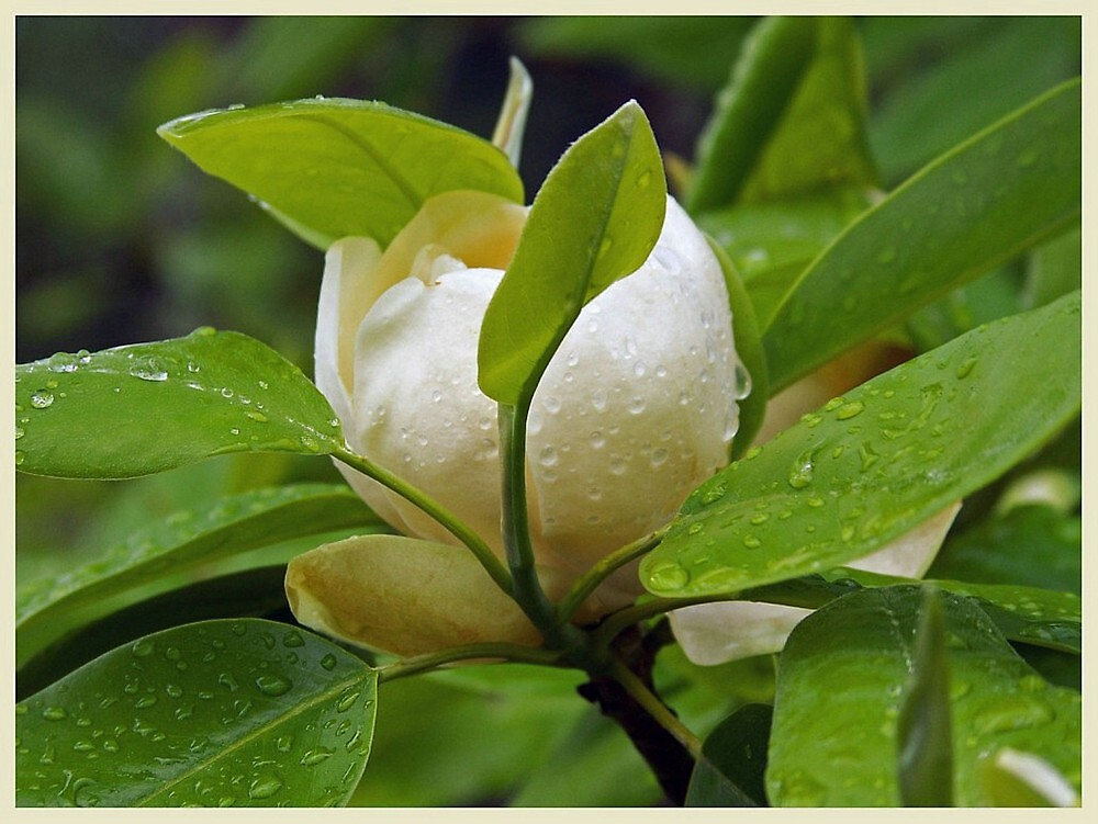 Steel Magnolia by lynell