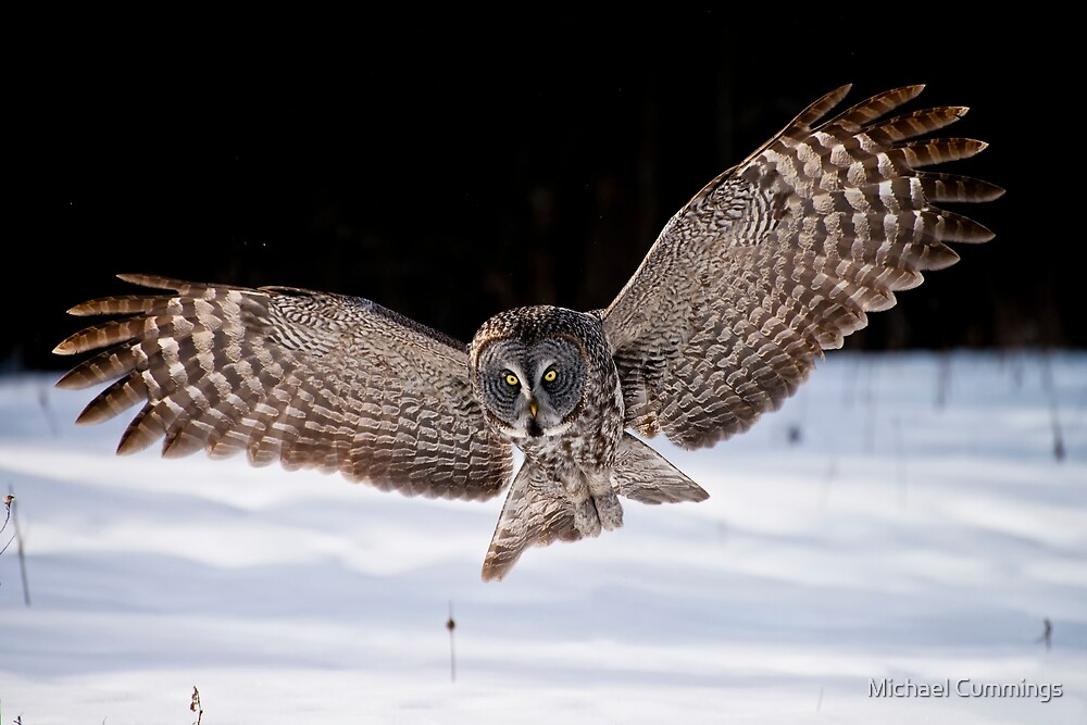 Great Gray Owl by Michael Cummings