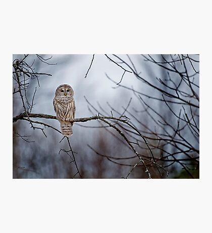 Barred Owl  Photographic Print