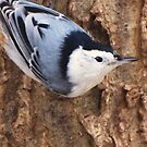 White-breasted Nuthatch by lorilee