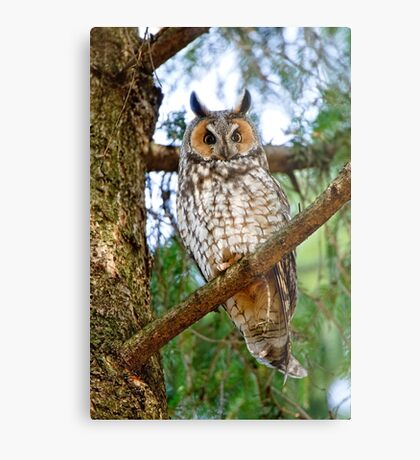 LEO - Long Eared Owl - Ottawa, Ontario Metal Print