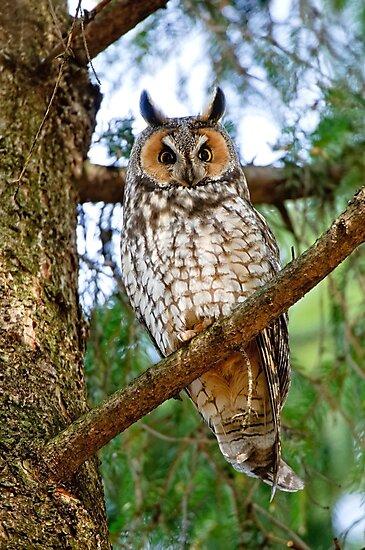 LEO - Long Eared Owl - Ottawa, Ontario by Michael Cummings