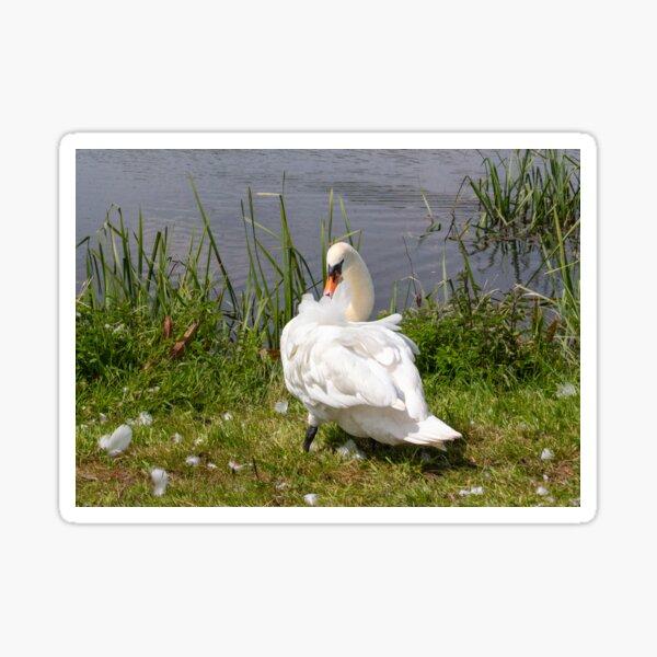 Preening Swan Sticker
