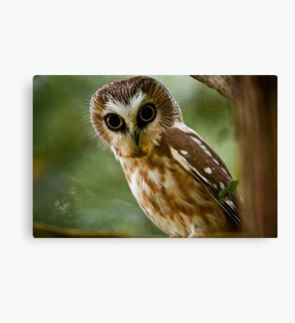 Northern Saw Whet Owl On Branch Canvas Print