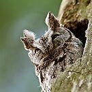Screech Owl - Ottawa, Ontario by Michael Cummings