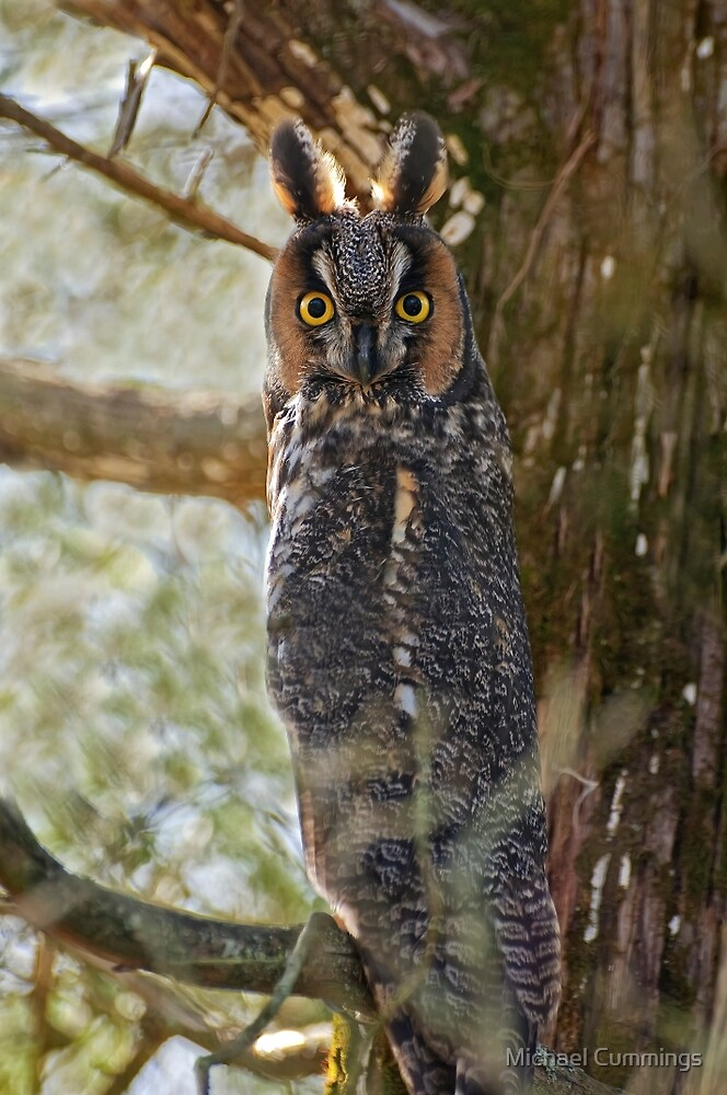 Long Eared Owl - Amherst Island, Ontario by Michael Cummings