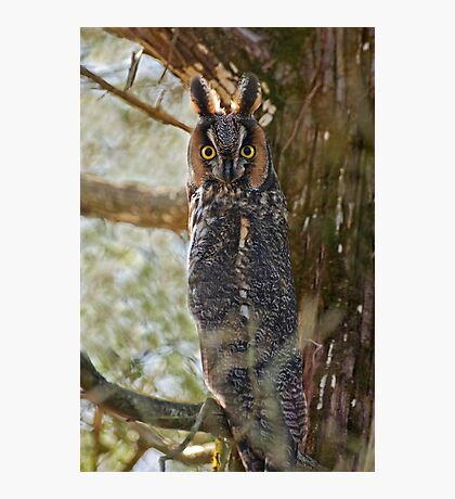 Long Eared Owl - Amherst Island, Ontario Photographic Print