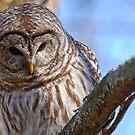 Barred Owl - Brighton Ontario by Michael Cummings