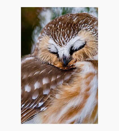 Northern Saw Whet Owl - Ottawa, Canada Photographic Print