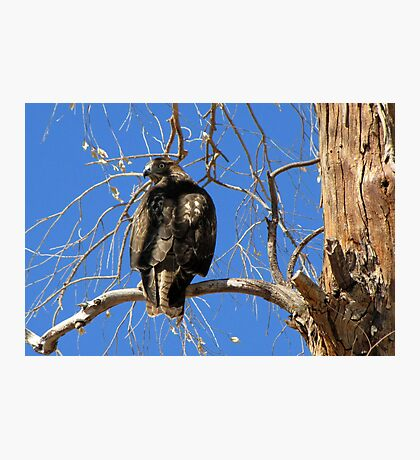 Red-tailed Hawk (Juvenile) ~ Talk to the tail! Photographic Print