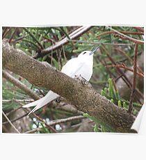 Lord Howe Island White Tern Poster