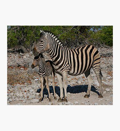 Zebra and Colt Photographic Print