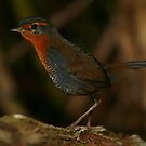Chucao Tapaculo by naturalnomad