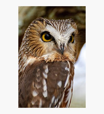 Saw Whet Owl - Amherst Island, Ontario Photographic Print