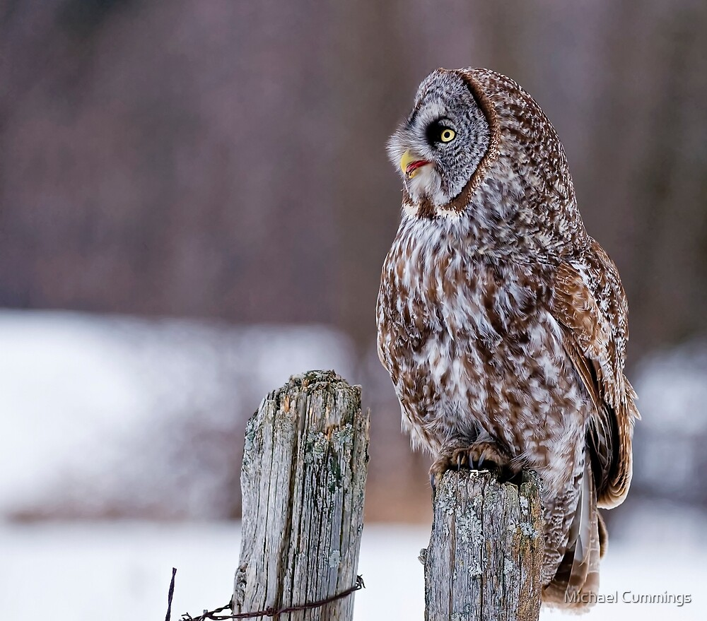Great Grey Owl - Dunrobin, Ontario by Michael Cummings