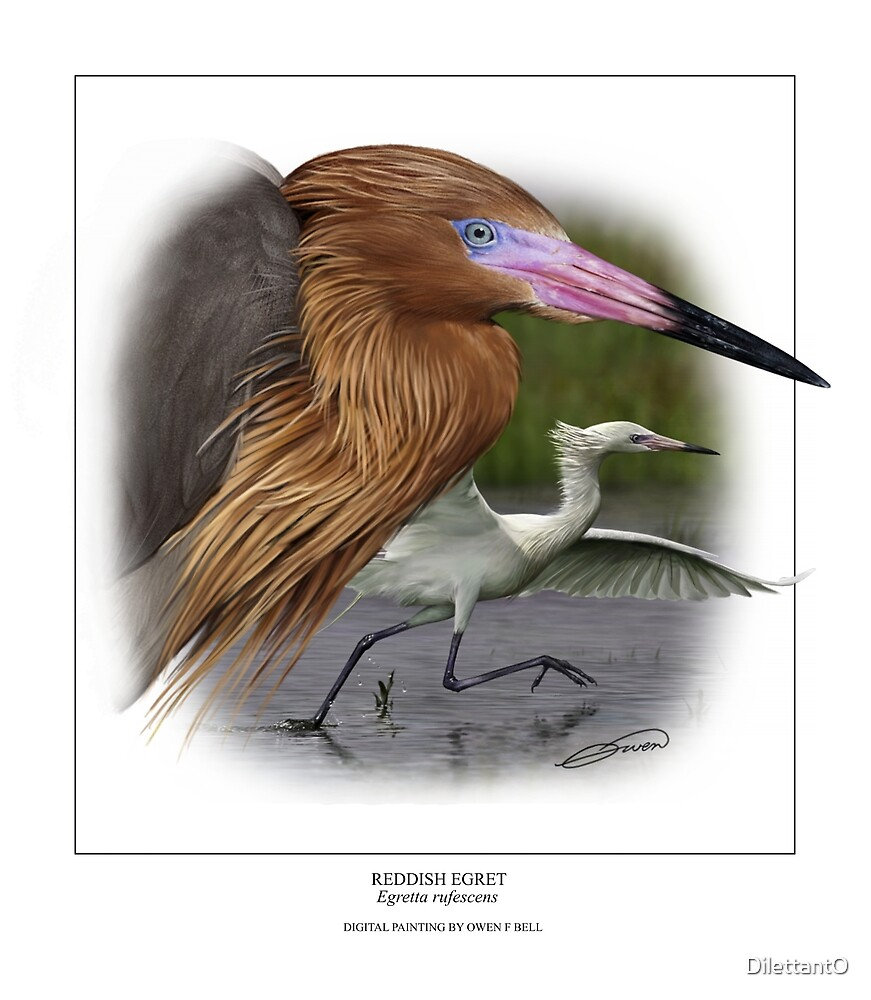 REDDISH EGRET  Egretta rufescens #2 (NOT A PHOTOGRAPH OR PHOTOMANIPULATION) by DilettantO