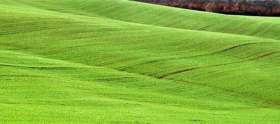 Tuscan Waves of Winter Wheat-near Siena by Deborah Downes