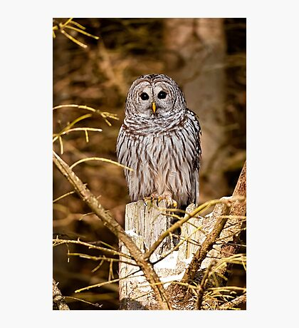 Barred owl on Tree Stump Photographic Print