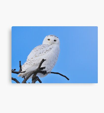 Snowy Owl in Tree Canvas Print